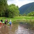 Working on a Kalo farm in Waipi'o Valley.- Volunteering Vacations on Hawai'i's Big Island