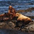 San Juan Islands National Conservation Area: Steller sea lion (Eumetopias jubatus).- National Wildlife Refuge System