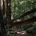 Big redwood trees on the Creeping Forest Trail in Big Basin State Park.- Backpacking in the Rain: It's Time to Get Your Feet Wet