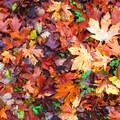 Bigleaf maple (Acer macrophyllum) leaves.- 20 Great Fall Hikes in Oregon