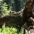 A visitor to the Peterson Memorial Trail is dwarfed by a fallen tree. - Hiking in California's Redwoods
