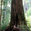 Coastal redwood, Jedediah Smith Redwoods State Park, California.- Special Report: State Parks