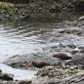 San Juan Islands National Conservation Area: Black Oystercatcher (Haematopus bachmani).- National Wildlife Refuge System