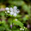 The fringed phacelias cover the forest floor in many areas of the park throughout May. - 10 Incredible Wildflower Hikes in Great Smoky Mountains National Park