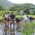 Volunteers working on a Kalo farm deep within Waipi'o Valley.- Volunteering Vacations on Hawai'i's Big Island