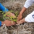 Planting native trees along the slopes of the Kohala Mountain.- Volunteering Vacations on Hawai'i's Big Island