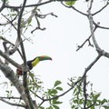 Toucan at Pipeline Road.- 4-Day Adventure in and around Panama City, Panama