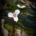 Painted trillium.- 10 Incredible Wildflower Hikes in Great Smoky Mountains National Park