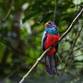 Trogon at Pipeline Road.- 4-Day Adventure in and around Panama City, Panama