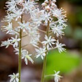 The foamflower can be found in the Smokies from April through June. - 10 Incredible Wildflower Hikes in Great Smoky Mountains National Park