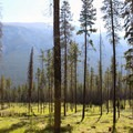 Lodgepole pines standing near Mount Rundle.- The Essential Alberta Road Trip