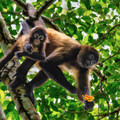 Spider monkeys eating favorite quince fruit.- 4-Day Adventure in and around Panama City, Panama