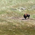 Bulls often venture off onto their own.- Adopt a Bison: Supporting the American Icon