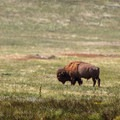 A bison grazes in the mid-day sun.- Adopt a Bison: Supporting the American Icon