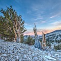 Ancient bristlecone pine forest in the White Mountains.- 25 Favorite National Forests for Adventure