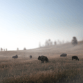 Bison graze in the haze that sets upon a valley in Wind Cave National Park.- Adopt a Bison: Supporting the American Icon