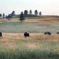 The bison in Wind Cave National Park is one of the most genetically pure herds.- Adopt a Bison: Supporting the American Icon