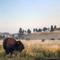 A bull stands among the prairie grasses in Wind Cave National Park as sun sets and a haze falls on the valley.- Adopt a Bison: Supporting the American Icon