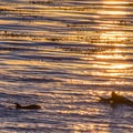 Dolphins at sunrise seen from Lighthouse Field State Beach.- 10 Monterey Bay Hotspots For Wildlife Viewing