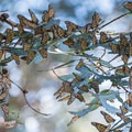 A roost of monarch butterflies.- Majestic Migrations: The Monarch Butterfly