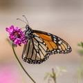 Monarch butterfly (Danaus plexippus).- Majestic Migrations: The Monarch Butterfly