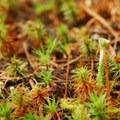 Juniper haircap moss (Polytrichum juniperinum).- An Ode to Moss!