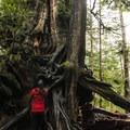 Admiring the Kalaloch Big Cedar, the third largest of its species.- Wednesday's Word - Quillayute