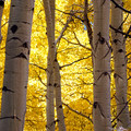 Aspen during the fall turn.- 25 Favorite National Forests for Adventure