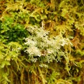 Large leafy moss (rhizomnium glabrescens) left of the white coastal reindeer, a type of lichen.- An Ode to Moss!