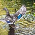 Female mallard (Anas platyrhynchos).- 5 Fun Facts About Ducks