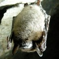 Little Brown Bat with White Nose Syndrome. Photo published under CC License 2.0.- The Truth About White-nose Syndrome