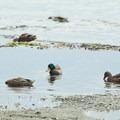 Mallards (Anas platyrhynchos) on the north end of Lake Washington.- 5 Fun Facts About Ducks