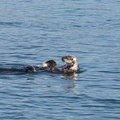 Sea otters playing in Morro Bay.- Girls Who Glamp: Big Sur Style