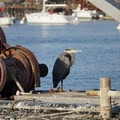 Great Blue Heron in Morro Bay.- Girls Who Glamp: Big Sur Style