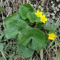 Marsh marigold (Caltha palustris). Photo published under CC license 2.0.- Poisonous Plants: How to Deal