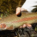 A rainbow trout caught (and released) on the McKenzie River.- Rivers of Oregon