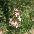 Nerium oleander. Photo published under CC license 2.0.- Poisonous Plants: How to Deal