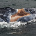 Scarback and the whale lice living in her wound.- Gray Whales: Close Encounters
