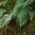 Licorice fern  (Polypodium glycyrrhiza).- Mountain Biking Oakridge's North Fork Trail