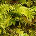 Oregon beaked moss (Kindbergia oregana).- An Ode to Moss!