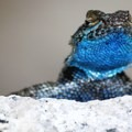A close-up view of a male western fence lizard (Sceloporus occidentalis) found in the area.- Wednesday's Word - Tuolumne