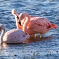Wild flamingos are abundant in souther Chile and Argentina.- 25 Photos That Will Make You Want to Adventure in Patagonia