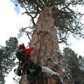 Damien on the ascent of the LaPine Giant ponderosa pine. Photo by Terry Asker.- Ascending the Giants is on a Mission to Catalog Our Forests' Champion Trees
