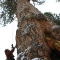 Brian on the first ascent of the LaPine Giant ponderosa pine. Photo by Terry Asker.- Ascending the Giants is on a Mission to Catalog Our Forests' Champion Trees