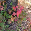 Poison oak (Toxicodendron diversilobum). Photo published under CC license 2.0.- Poisonous Plants: How to Deal
