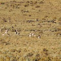 A herd of pronghorn antelope roams near Mann Lake.- 7 Great Reasons to Go Outside in the Fall, Part 5: Desert Visits