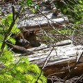 Two of wolf OR7's pups peek out from a log on the Rogue River-Siskiyou National Forest. Photo courtesy of USFWS.- An Inflection Point For Oregon's Wolf Recovery