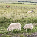 Sheep are everywhere.- Guide to Iceland's Ring Road