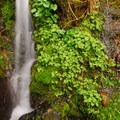 The trail up Saddle Mountain is generally soggy, foggy and wet.- Where to Find Mushrooms in the Pacific Northwest