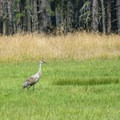 Two sandhill cranes at Conboy Lake National Wildlife Refuge.- Sandhill Cranes in the Pacific Northwest